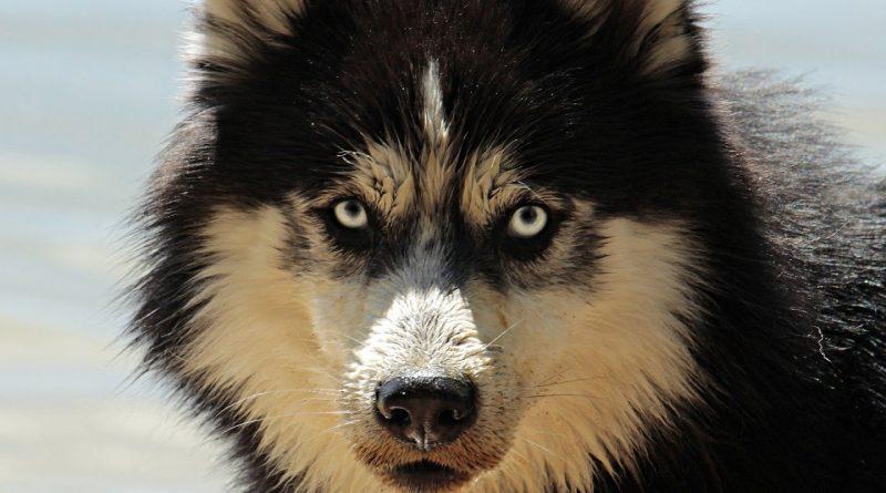 Pourquoi acheter un gilet de protection pour chien ?